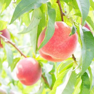 Premium Japanese peach / Momo from Yamanashi - 1kg (5 to 6 pieces) - 7-day lead time