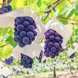 Premium Japanese seedless Kyoho grapes - 300g - rich and juicy - 7-day lead time