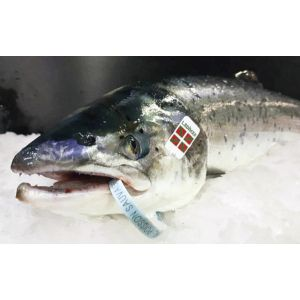 Rare WILD fresh salmon from Adour river 1510 aed/kg - 3 to 5 kg - season from Mid March until end of July