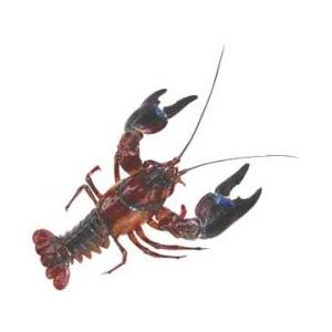 Live wild crayfish - 10 to 15pcs per kilo price to be adjusted as per arrival conditions
