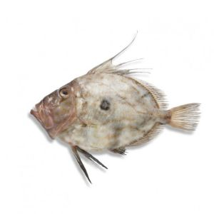 Fresh whole WILD John Dory / Saint-Pierre 320 aed/kg - 1 to 2 kg - price will be adjusted as per final weight