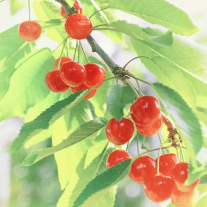 Premium Japanese cherries from Yamagata L size - 300g - 7-day lead time