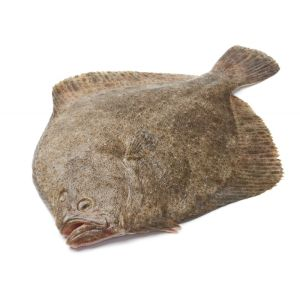 Fresh whole WILD turbot 330 aed/kg - 4 to 6kg/piece