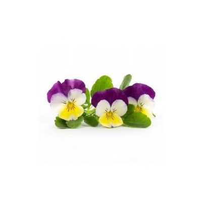 """Edible pansy """"big"""" flowers - 30 to 50g per punnet - sweet green flavor"""