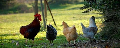 The benefits of free-range chicken